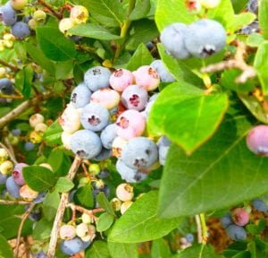 blueberry on the vine