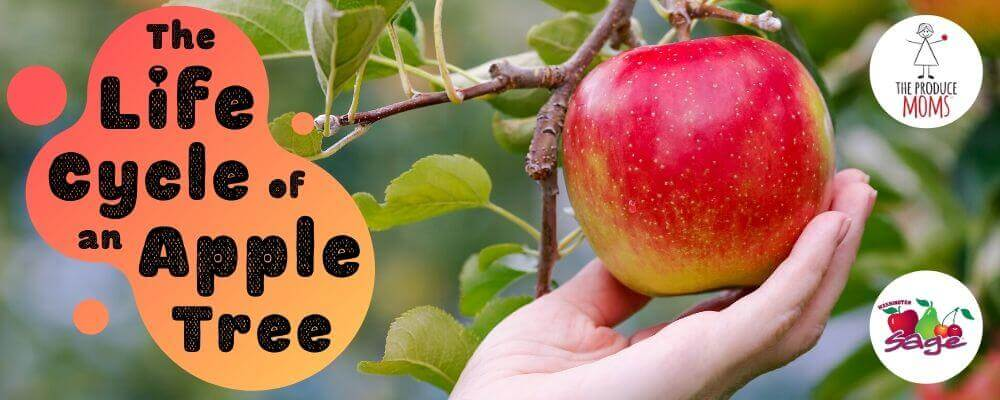 Life Cycle of an Apple Tree Banner Ad