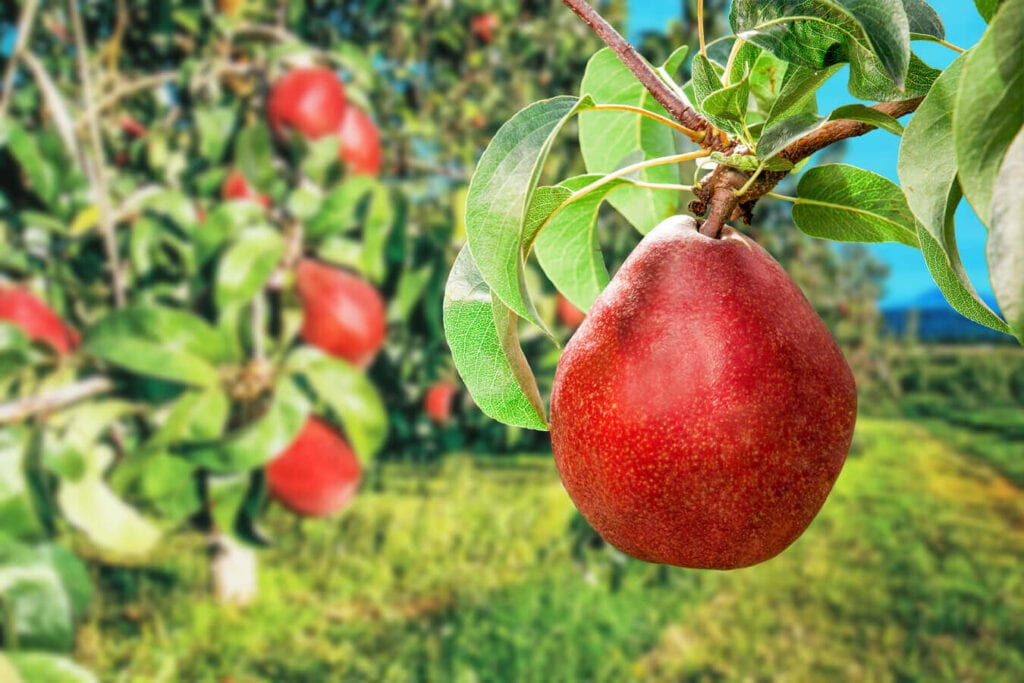 Red Anjou Orchard