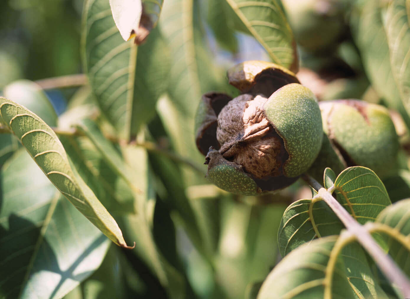 All About California Walnuts: Nutrition, Storage Tips, and Recipes