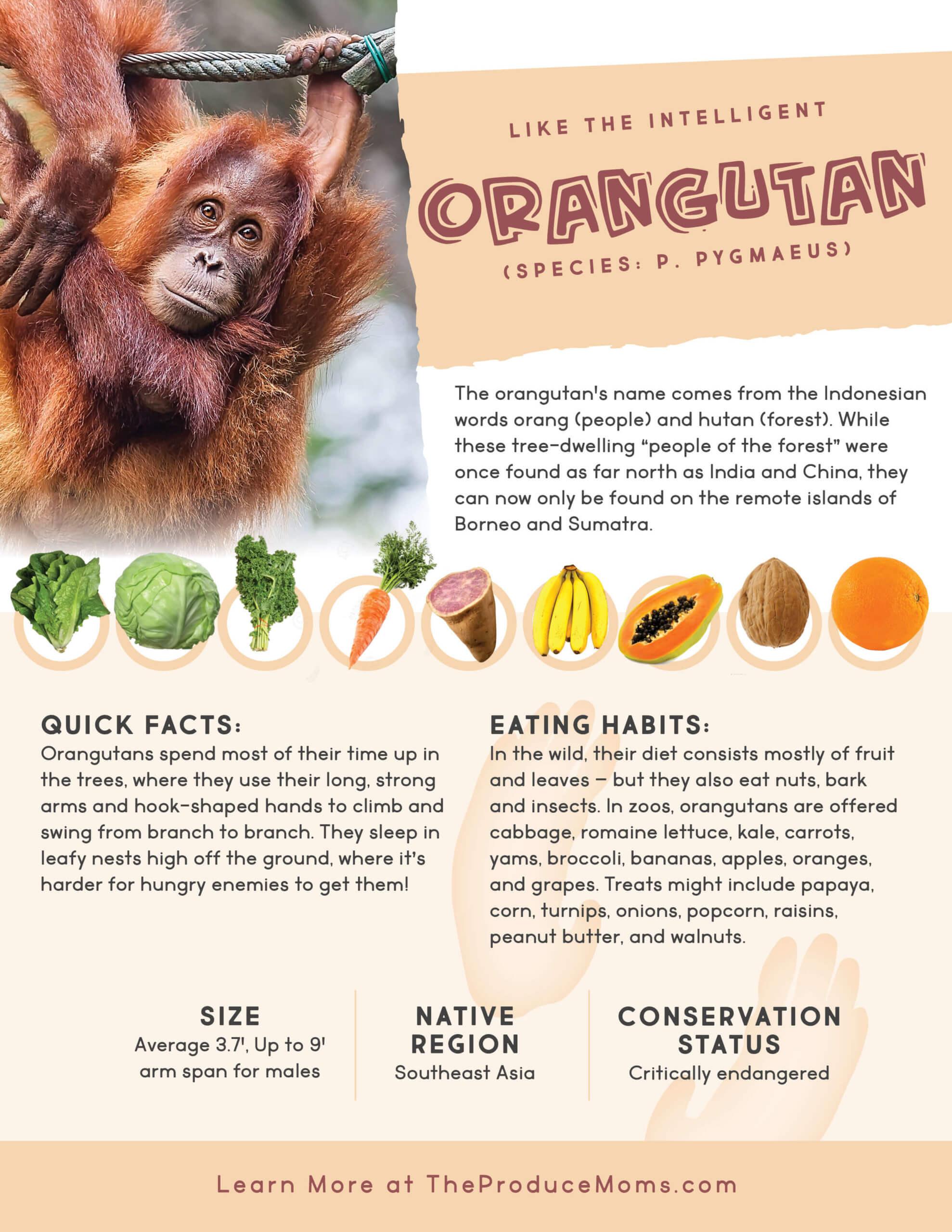 Orangutan diet and facts