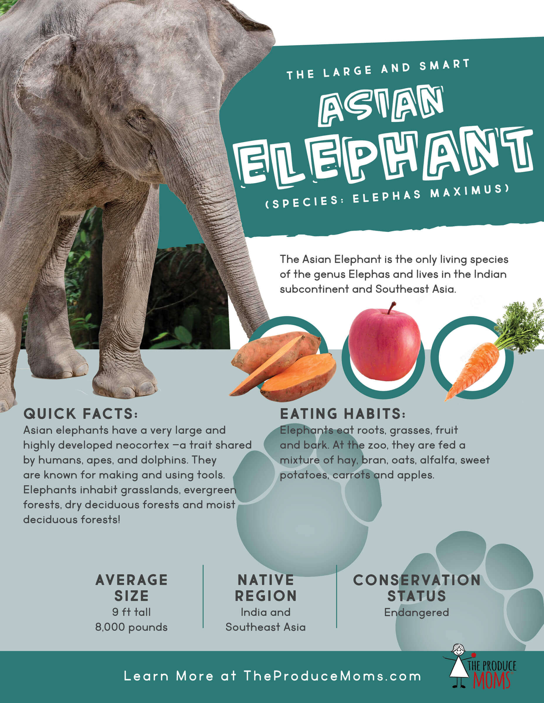 Quick Facts about Asian Elephants