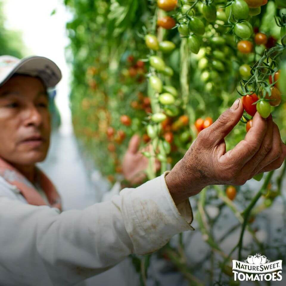 Behind the Tomatoes: NatureSweet Is Doing What's Right