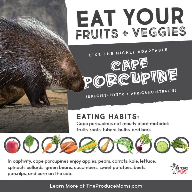 Eat like a cape porcupine