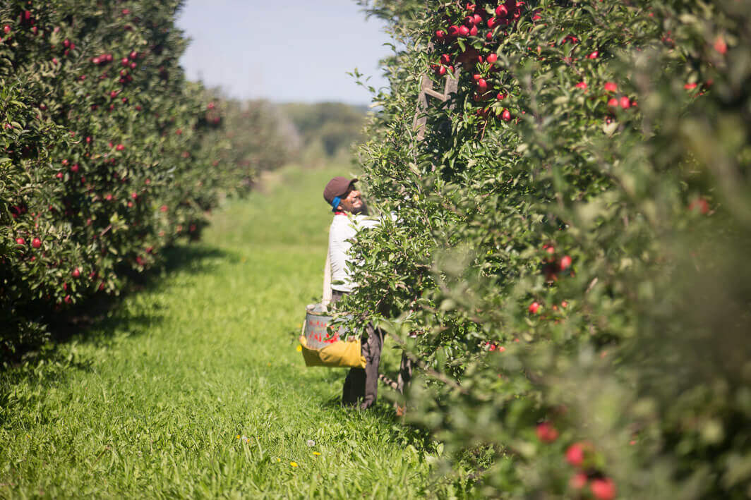 At work in the apple orchards